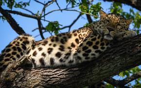 Картинка свет, ветки, дерево, отдых, листва, тень, леопард, лежит