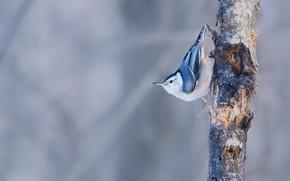 Картинка фон, дерево, птица, Владимир Морозов, Каролинский поползень