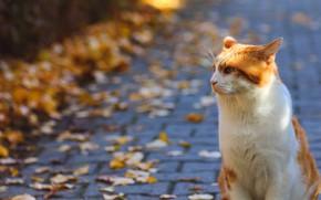 Картинка дорога, осень, кошка, кот, взгляд, морда, листья, свет, улица, листва, плитка, рыжий, профиль, тротуар, сидит, …