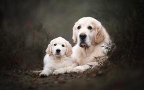 Обои лес, собаки, взгляд, природа, поза, парк, темный фон, две, собака, растения, малыш, пара, щенок, белые, ...