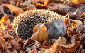 Картинка осень, взгляд, листья, природа, листва, ежик, ёжик, осенние, осенняя, еж, ёж