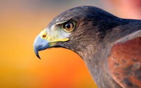 Картинка птица, орел, клюв