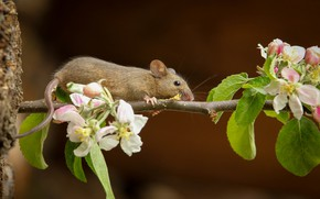 Картинка ветка, мышь, хвост, яблоня