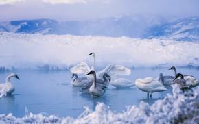 Картинка птицы, Вайоминг, США, лебедь-трубач, Kelly Warm Springs