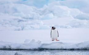 Картинка зима, снег, птица, берег, ледник, сугробы, пингвин, водоем, Антарктида