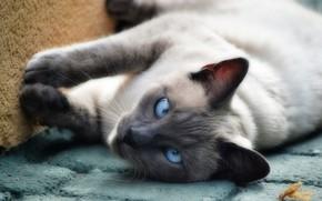 Картинка кошка, кот, взгляд, поза, фон, плитка, лапы, лежит, котяра, котэ, сиамский, голубоглазый, косоглазый, тайский, колор-пойнт
