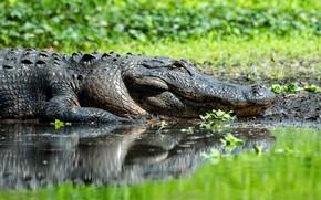 Картинка отражение, крокодил, водоем