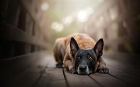 Обои взгляд, мост, собака