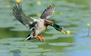 Картинка вода, полет, поза, озеро, пруд, крылья, утка, водоем, взмах, яркое оперение