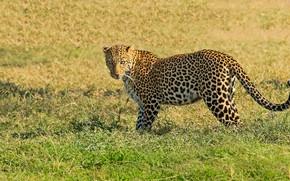 Картинка поле, трава, природа, леопард