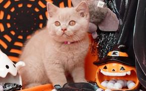 Картинка осень, кошка, глаза, взгляд, поза, котенок, серый, праздник, игрушки, паутина, конфеты, ткань, тыква, бусы, оранжевый …