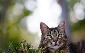 Картинка кошка, лето, кот, взгляд, морда, цветы, серый, фон, портрет, растения, полосатый, боке