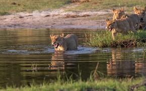 Картинка берег, купание, львы, львята, водоем