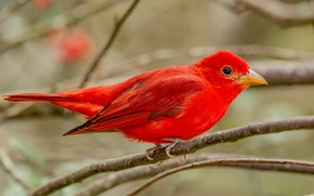 Картинка ветки, фон, птица, красная, яркая