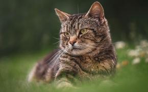 Картинка кошка, лето, трава, кот, взгляд, морда, природа, поза, темный фон, серый, поляна, портрет, полосатый, зеленый …