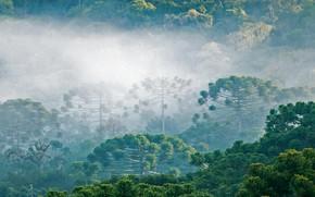Обои лес, облака, деревья, туман, араукария бразильская