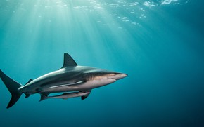 Картинка вода, свет, океан, рыба, Акула
