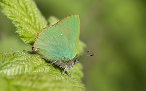 Картинка зелень, листья, фон, бабочка