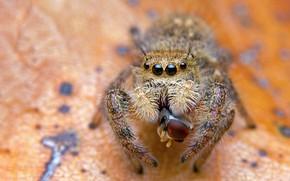 Картинка глаза, макро, оранжевый, фон, жертва, листок, паук, хищник, пятна, добыча, джампер, мушка, сытный мясной обед, …