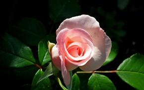 Картинка листья, свет, темный фон, розовая, роза, бутон, розочка