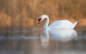 Картинка осень, белый, птица, лебедь, водоем