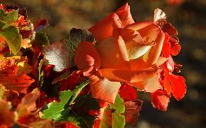 Картинка осень, лист, роза
