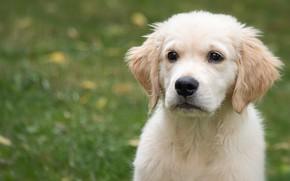 Картинка взгляд, морда, фон, портрет, собака, малыш, щенок, боке, ретривер, золотистый ретривер