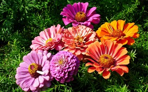 Картинка Цветы, букет, травка, Циннея