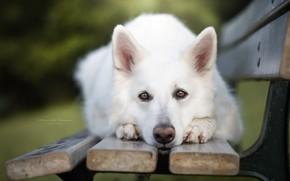 Картинка взгляд, морда, собака, скамья, Белая швейцарская овчарка