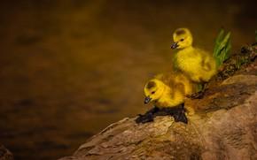 Картинка птицы, парочка, утята, птенцы, два утенка