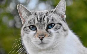 Картинка кошка, морда, голубые глаза