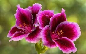 Картинка цветы, зеленый, фон, яркие, лепестки, розовые, сиреневые, малиновые, боке