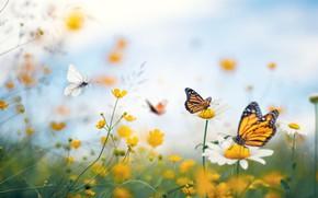 Картинка лето, макро, бабочки, цветы, ромашки, лютики