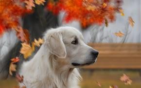 Картинка осень, взгляд, фон, друг, собака
