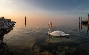 Картинка белый, камни, птица, берег, лебедь, водоем