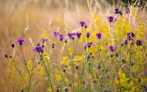 Картинка поле, цветы, желтые, полевые, сиреневые, боке, васильки