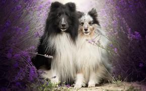 Картинка собаки, друзья, лаванды