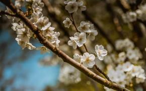 Картинка небо, цветы, ветки, вишня, размытие, ветка, весна, сакура, белые, цветение, боке