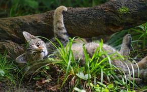 Картинка трава, поза, дерево, дикий кот