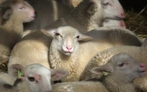 Картинка овцы, народ, хлев