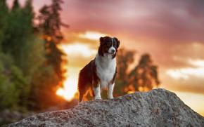 Картинка осень, лес, взгляд, пейзаж, фон, камень, собака