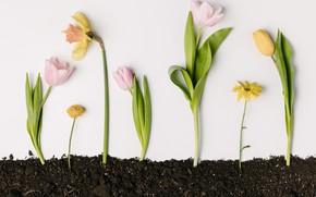 Картинка цветы, flowers, spring, yellow, tulips, тюльпаны, нарциссы, pink, желтые, fresh, розовые, весна