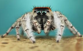 Картинка глаза, макро, поза, фон, лапки, паук, мохнатый, бирюзовый, прыгун, джампер, паучок, скакунчик, прыгунчик, прыгающий, рыжая …