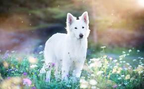 Картинка лето, лучи, свет, цветы, природа, собака, луг, белая, прогулка, боке, швейцарская овчарка