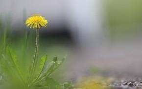 Картинка одуванчик, весна, Фон