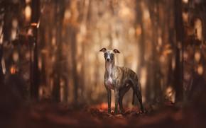 Картинка осень, лес, взгляд, листья, свет, деревья, природа, поза, парк, фон, стволы, собака, прогулка, стоит, боке, ...