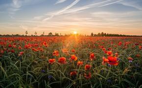 Обои поле, небо, солнце, облака, лучи, пейзаж, закат, цветы, природа, мак, рожь, маки, вечер, злаки, маковое ...