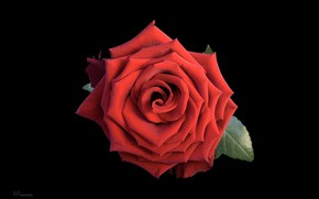 Картинка макро, роза, красная