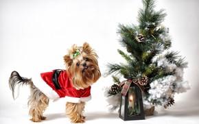 Картинка взгляд, праздник, собака, Рождество, костюм, фонарь, белый фон, Новый год, ёлочка, мордашка, собачка, новогодние украшения, …