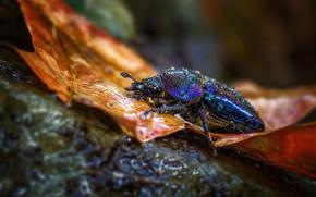 Картинка осень, капли, макро, синий, природа, фон, камень, листок, жук, насекомое, жучок, блестящий, радужный